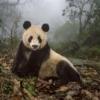 16 yaşındaki dev panda Ye Ye Wolong Doğa Koruma Alanındaki korumacılık merkezinde bulunan doğal alanda yaşıyor. Yavrusu Hua Yan (Güzel Kız) doğaya bırakılmak üzere eğitiliyor.