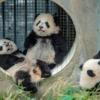 Anne panda üç yavruya bakıyor ve içlerinden sadece biri onun yavrusu. Zayıf doğan ya da annesi tarafından reddedilen bir yavruyu vekil anneye vermek panda üretim merkezlerindeki yavruların hayatta kalma şansını arttırıyor.