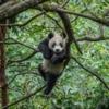 1 yaşındaki yavru Wolong alanındaki ağaçların tepesini keşfediyor; eğer hayatta kalma becerilerini ve içgüdülerini ölçen bu testleri geçerse dağlara salınabilirler.