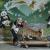 Gao Xiaowen, Weolong'daki bakıcıların genç pandaları en büyük düşmanları konusunda eğitmek için kullandığı doldurulmuş leoparla poz veriyor. Bir yavrunun kendi başına yaşamaya hazır olup olmadığı konusunda verilecek kararı , yırtıcıya ve kayda alınmış kükremesine karşı gösterdiği tepki belirtiyor.