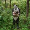 Panda giyisisi yavruyu kandırmaya yarıyor mu? Esaret altında yetiştirilen ayıların doğada yaşamak üzere eğitildiği ve yakın kontroller sırasında dahi insanlardan görece uzak tutulduğu Wolong'daki Hetaoping merkezinde ümitler bu yönde.