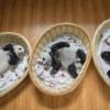 Üç aylık yavrular Bifengxia'daki panda yuvasında uyukluyor. Bakıcılar yavruların hem bakıcılardan hem de anneden ilgi görmesini sağlamak için yavruları içeri dışarı taşıyarak annenin yükünü azaltıyor.