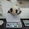 Bifengxia'da bir yavru tartılıyor. Yaban hayatında yetişkinlerine ulaştıklarında, dişi pandalar 100 kilograma, erkek pandalar ise 115 kilograma kadar ulaşabiliyor ve boyları ise 120 ila 180 cm'yi bulabiliyor.