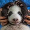 Bakıcı Li Feng 2 aylık bebeği tutuyor. Dev pandaların yüzde ellisi gözetim altında ikiz doğuruyor ama birçok anne yalnız bir bebekle ilgilenebiliyor, bu durumda da diğer bebekle bakıcılar ilgileniyor. Yaban hayatında ise genelde iki yavrudan yalnızca bir tanesi hayatta kalıyor.