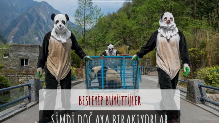 çinliler'in pandaları doğaya salması