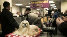 New York'ta 142.'si düzenlenen köpek şov başladı